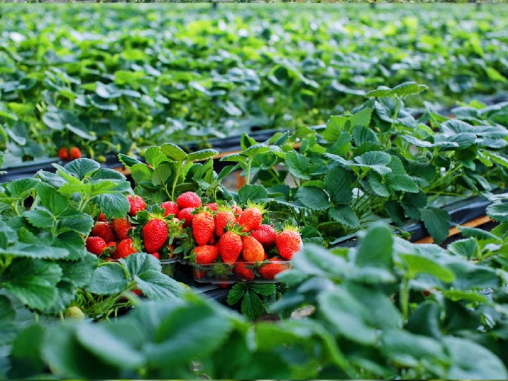 Kết quả hình ảnh cho vườn dâu tây mộc châu